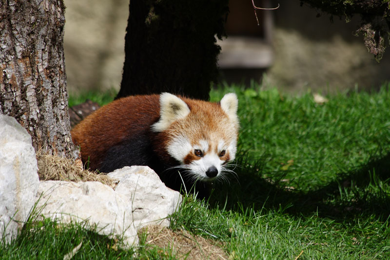Roter Panda im Zoo, was schaust du so?