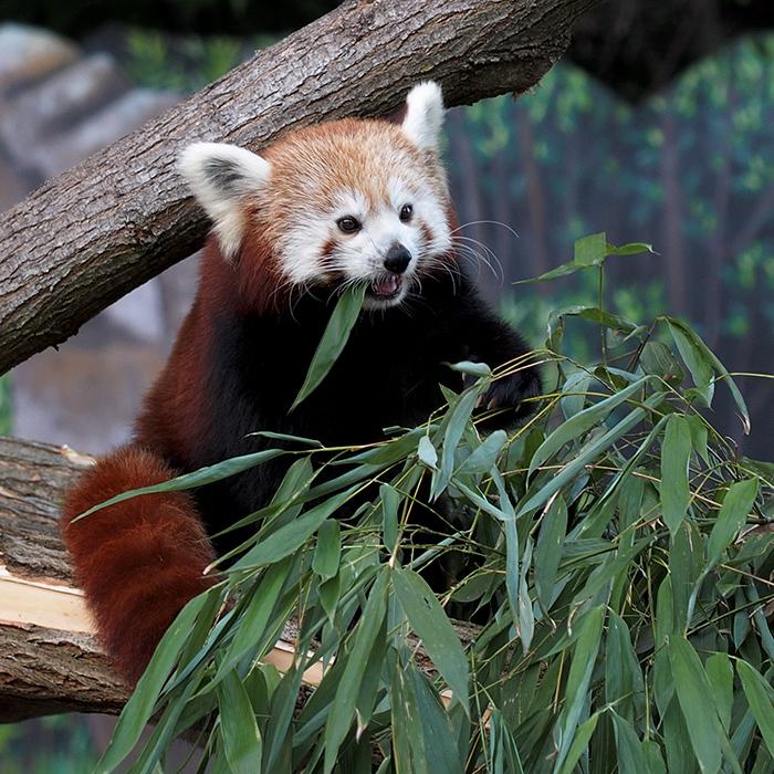 Roter Panda IV