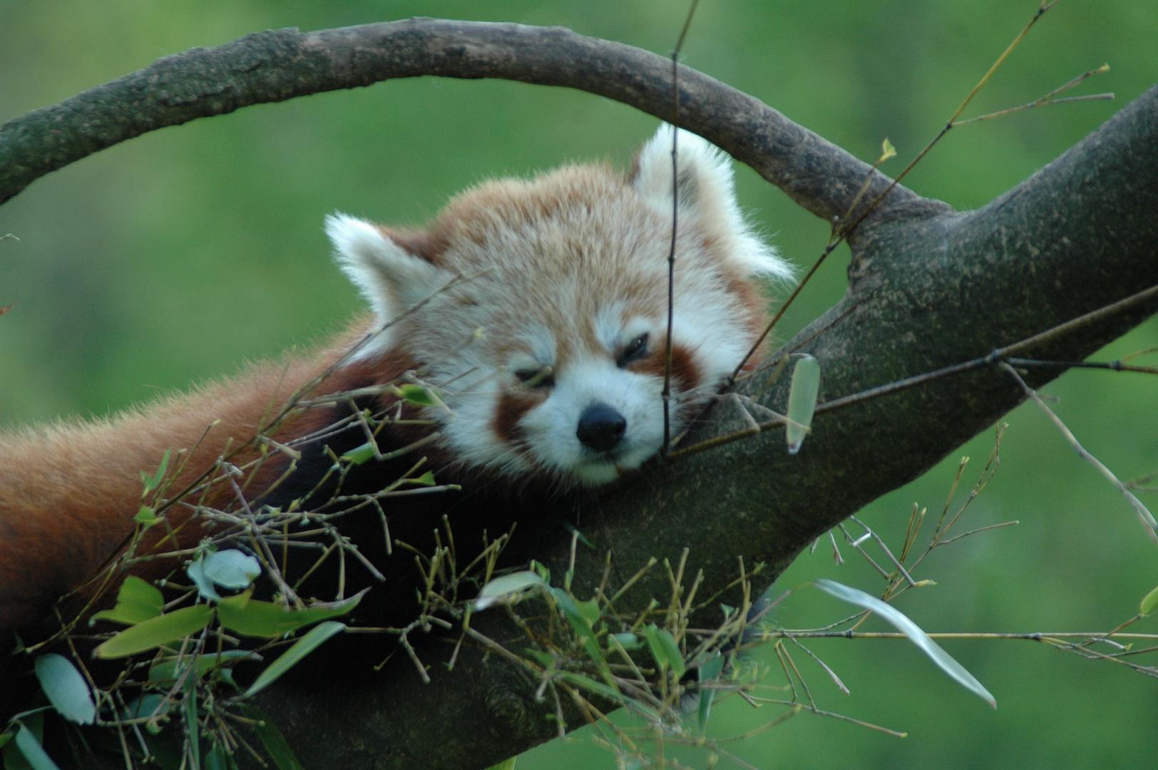 Roter Panda Zoo Dortmund