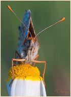 Roter Scheckenfalter (Melitaea didyma) (2)