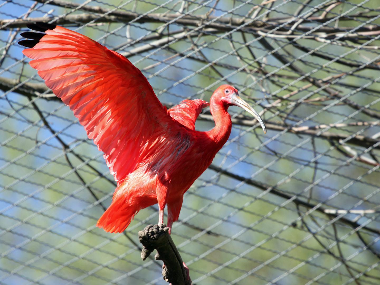 Roter Sichler