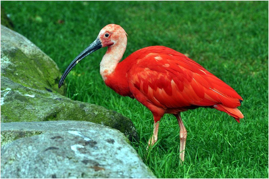 Roter Sichler (Scharlachroter Ibis)