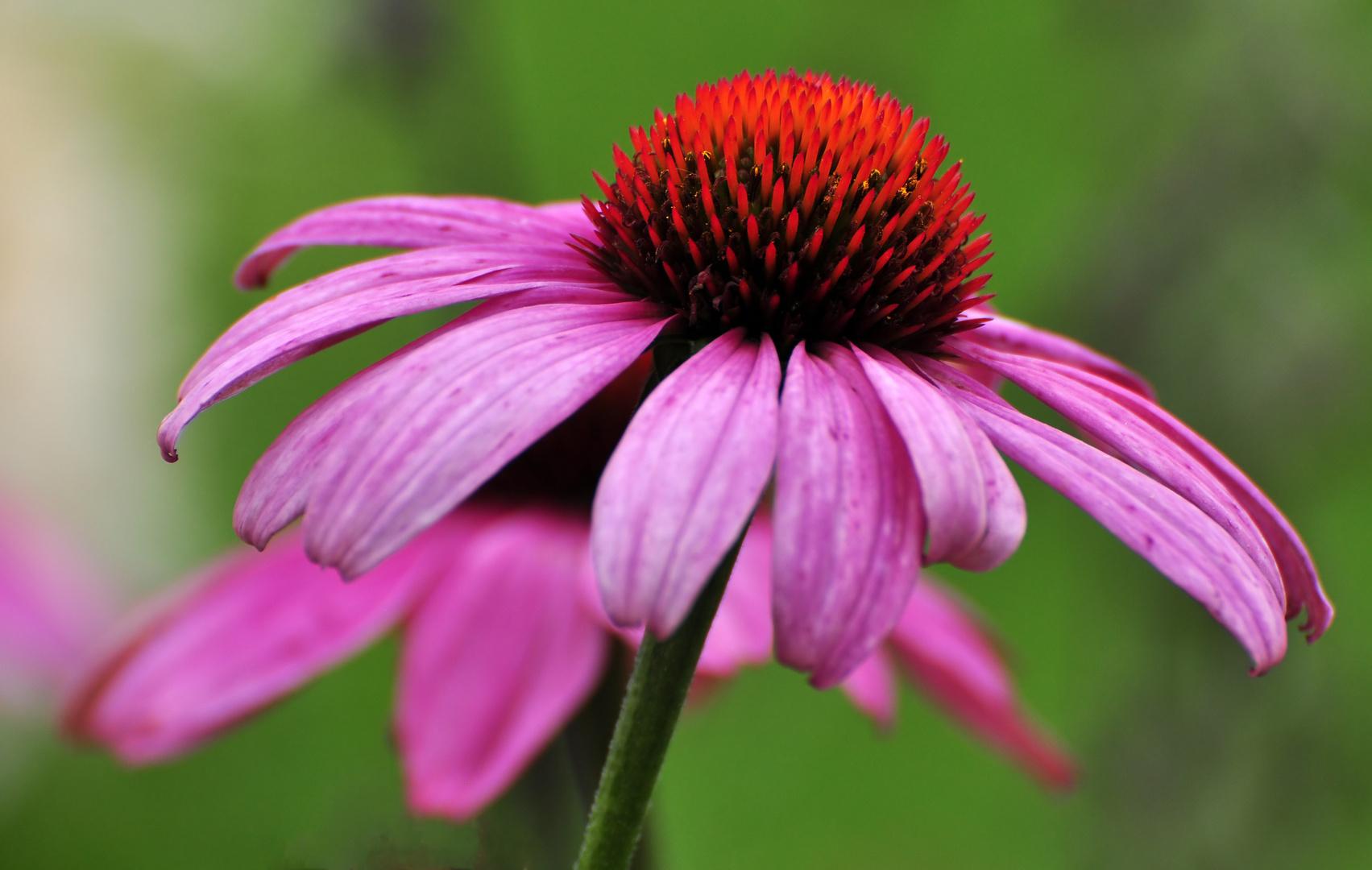 roter sonnenhut foto bild pflanzen pilze flechten bl ten kleinpflanzen. Black Bedroom Furniture Sets. Home Design Ideas