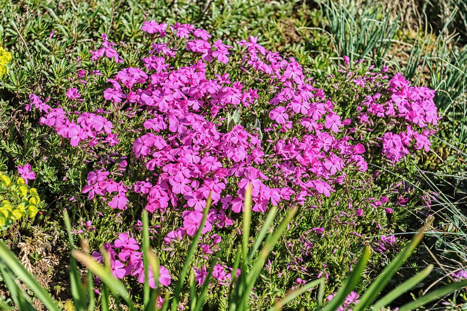 Roter Teppich-Phlox ( Phlox subulata )