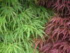 Roter und Grüner Schlitzahorn