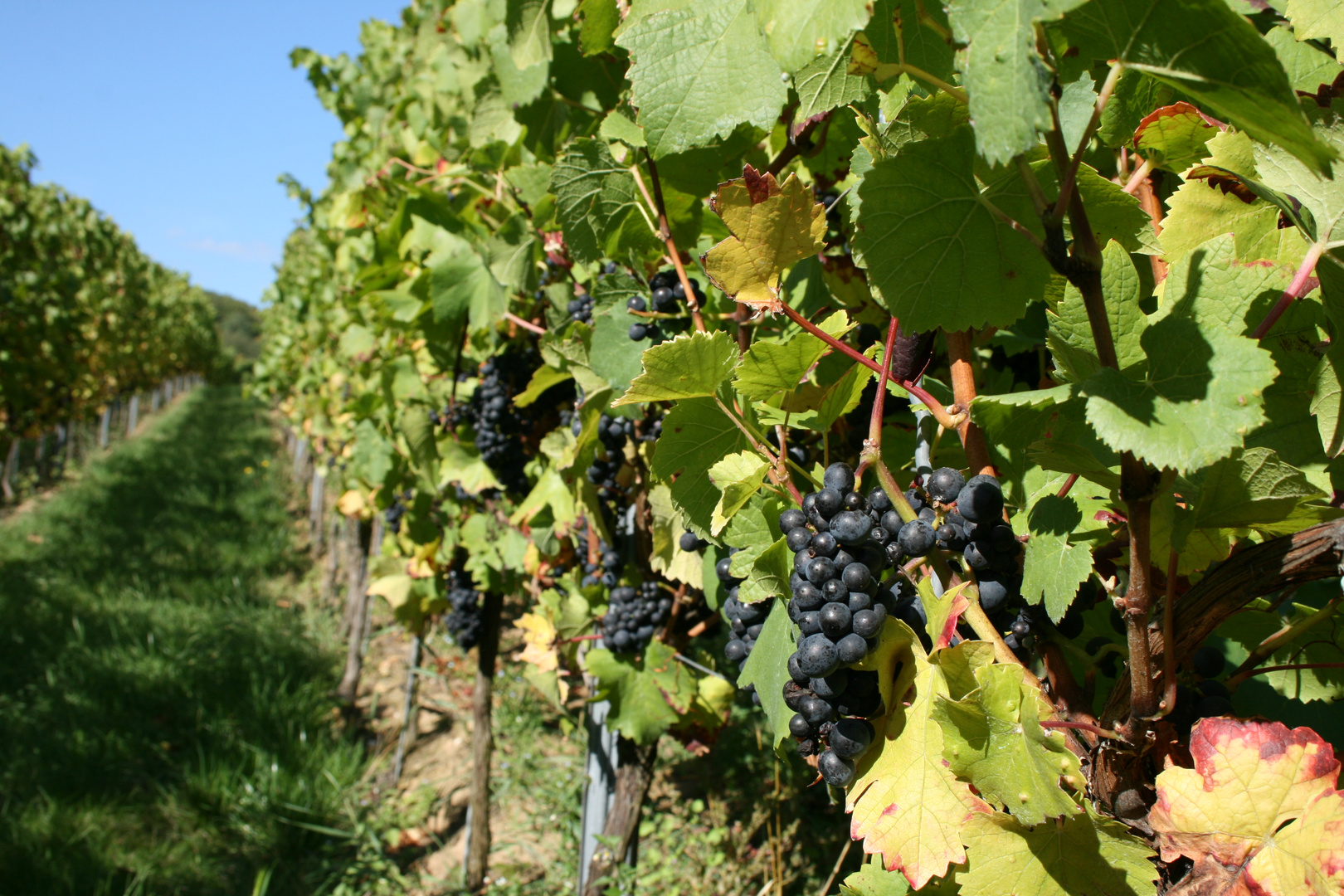 Roter Wein im Rheingau
