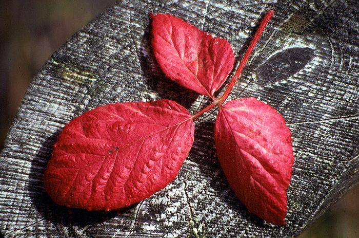 Roter Zweig