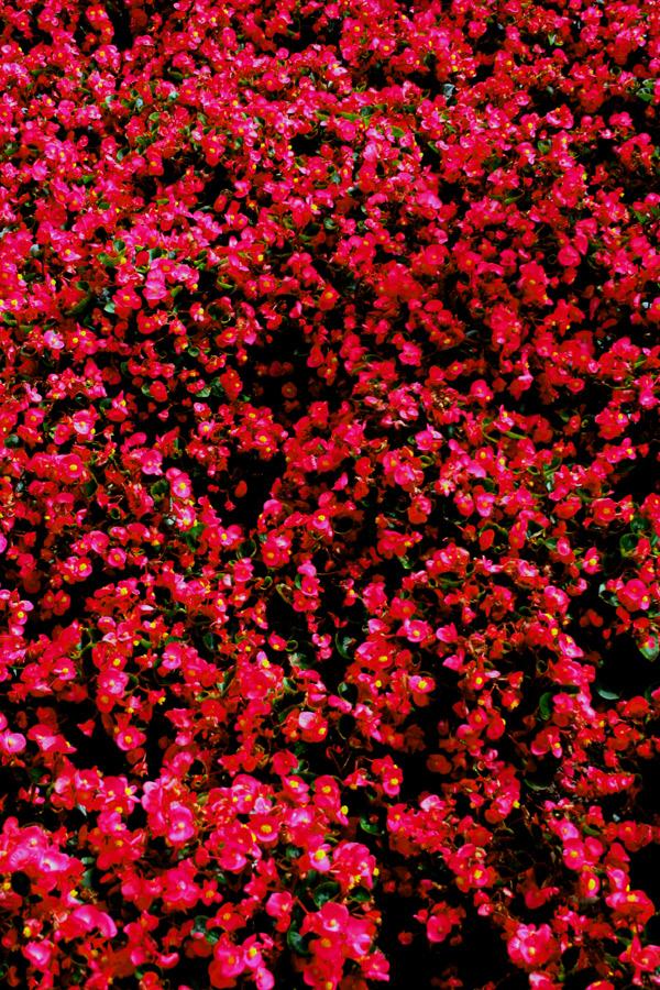 Rotes Blüten-Meer...