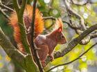 Rotes Eichhörnchen im Baum