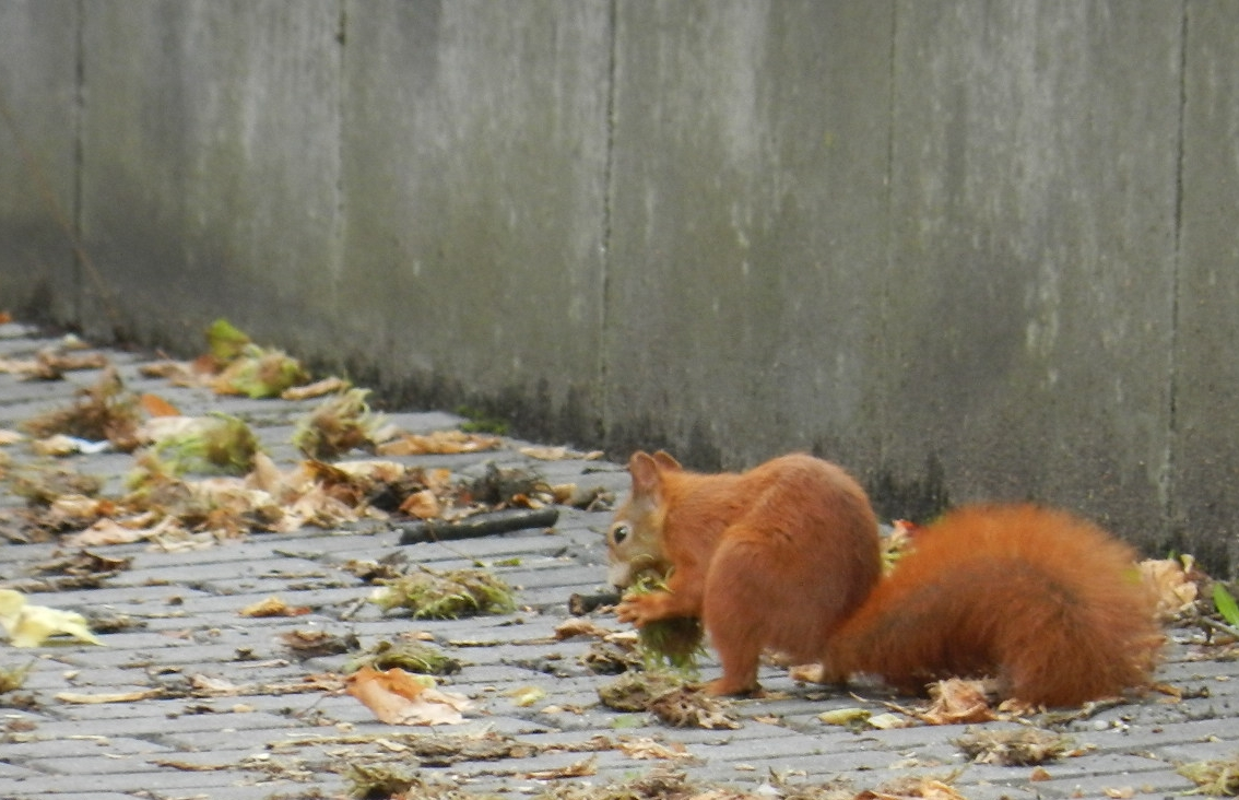 rotes Eichhörnchen mit Wintervorrat