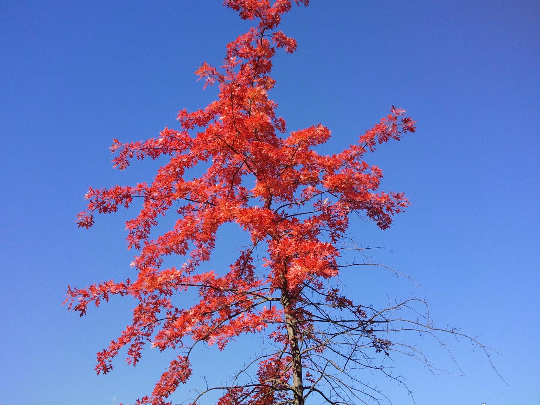 Rotes Laub vor blauem Himmel