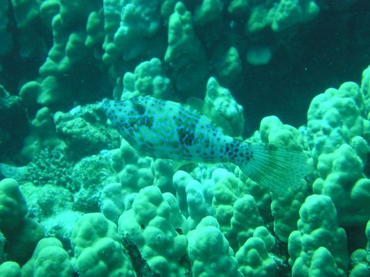 Rotes Meer, Feilenfisch