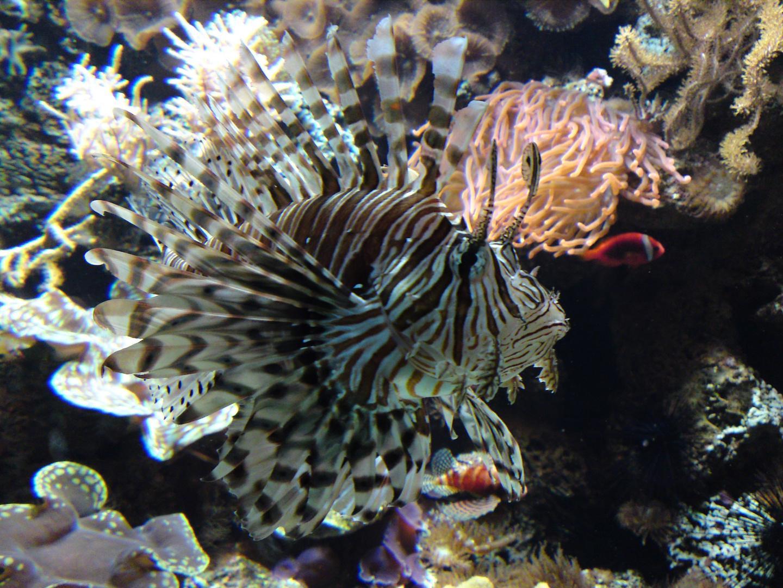 Rotfeuerfisch 2