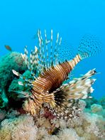 Rotfeuerfisch am Riff