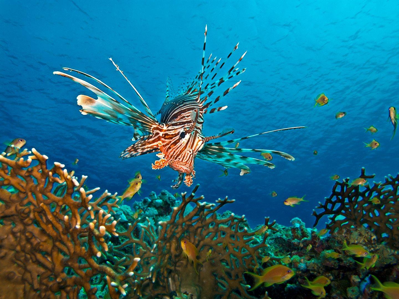Rotfeuerfisch auf der Jagt - Edition 2013
