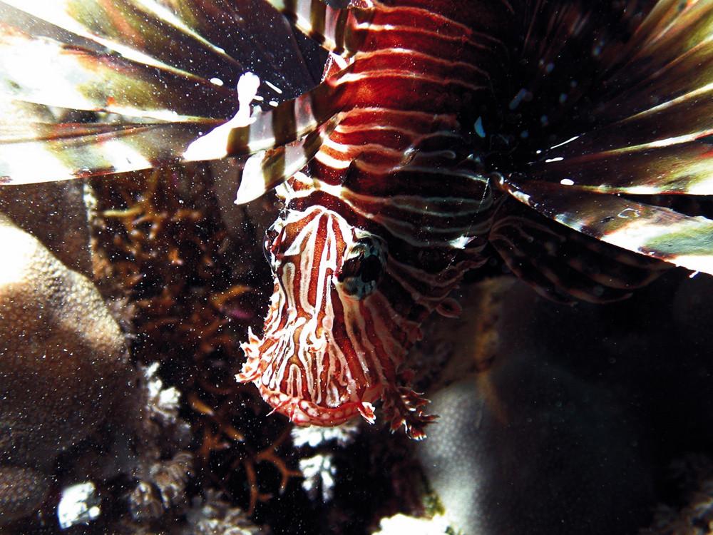 Rotfeuerfisch bei Nacht