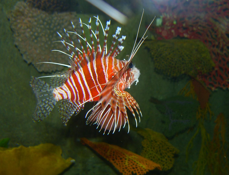 Rotfeuerfisch (Pteroinae)