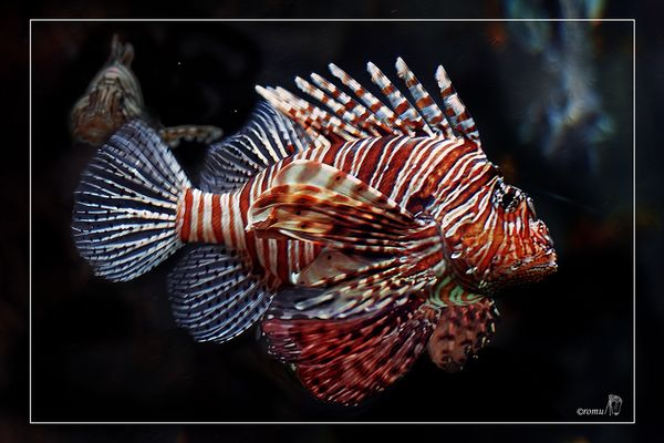 Rotfeuerfisch (Pterois volitans)