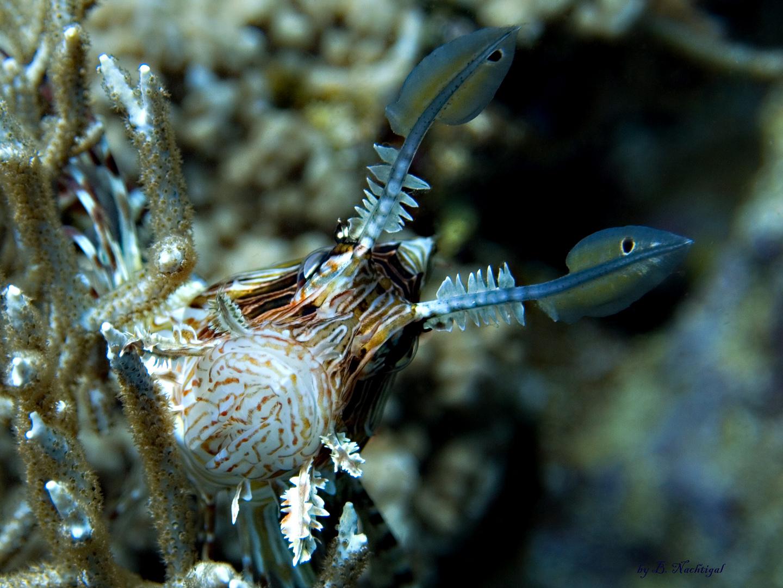 Rotfeuerfisch2