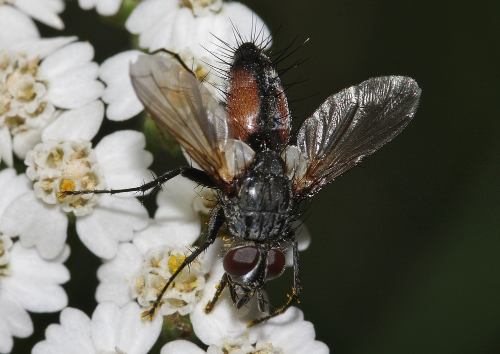 Rotfleckige Raupenfliege, Eriothrix rufomaculatus