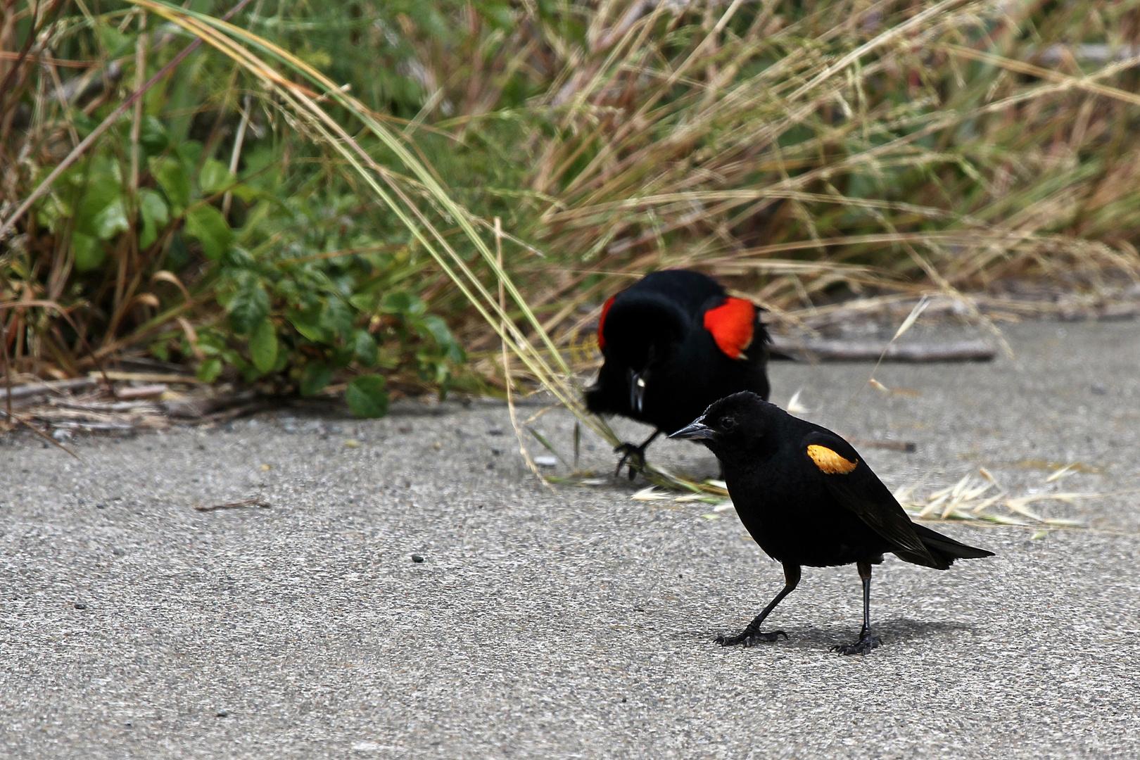 Rotflügelstärling