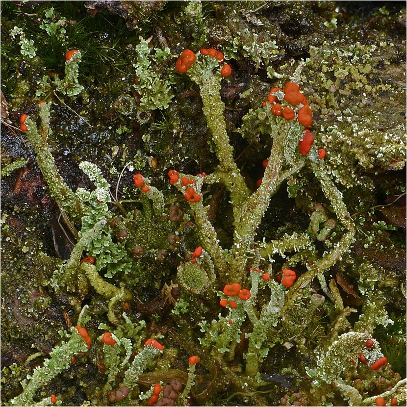 Rotfrüchtige Cladonie aus dem Moor