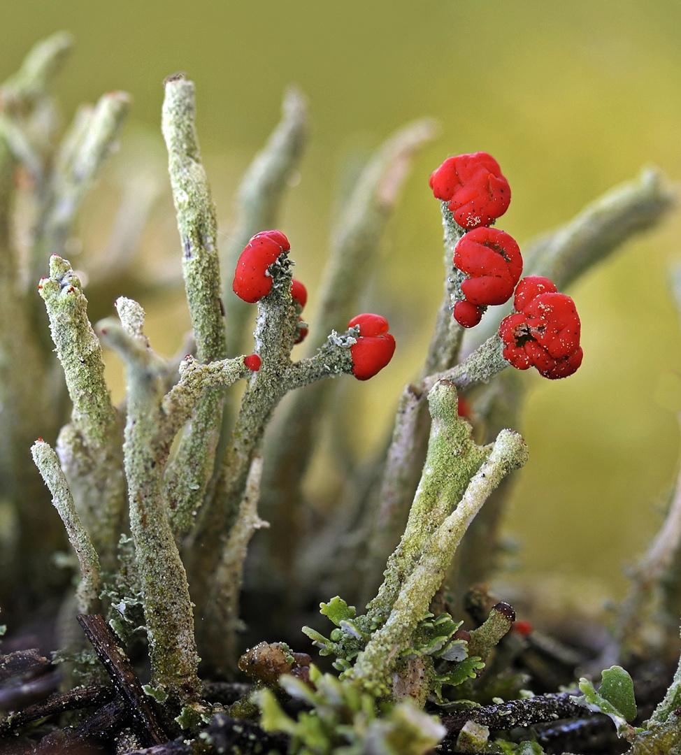 Rotfrüchtige Säulenflechte (Cladonia macilenta)
