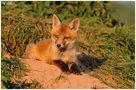 - Rotfuchs Welpe - ( Vulpes vulpes ) von Wolfgang Zerbst - Naturfoto