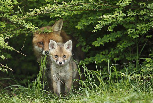 Rotfüchse Welpe und Fähe
