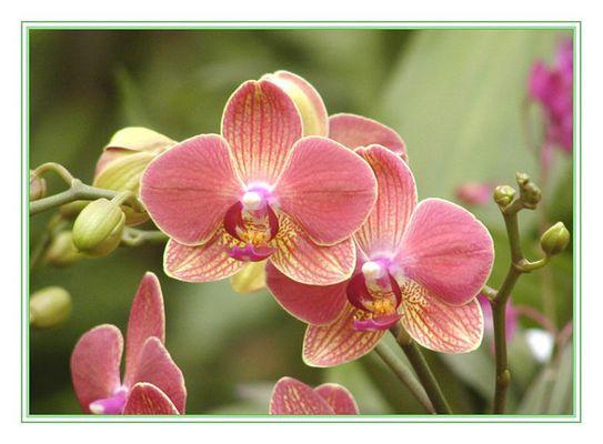 rotgelbe Orchideenblüten