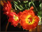Rotgelbe Tulpen