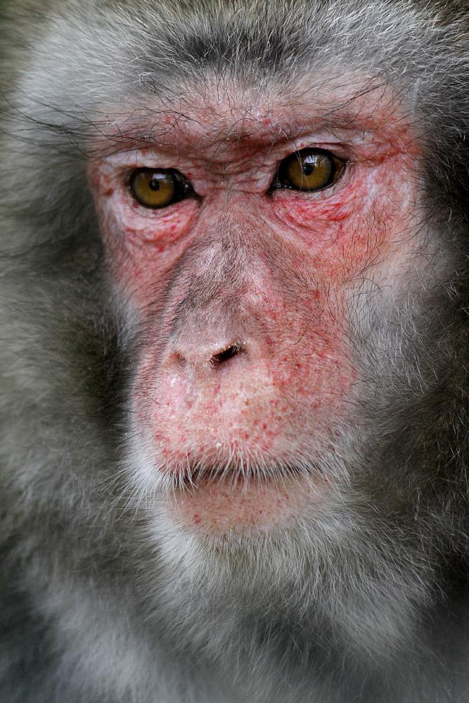 Rotgesichtsmakak Affe