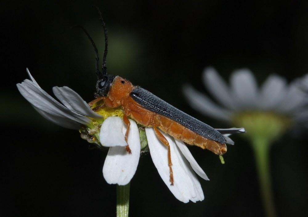 Rothalsiger Weidenbock, Bunter Linienbock - Oberea oculata -