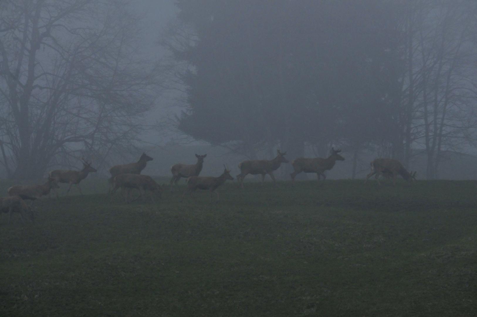 Rothirsche im Nebel