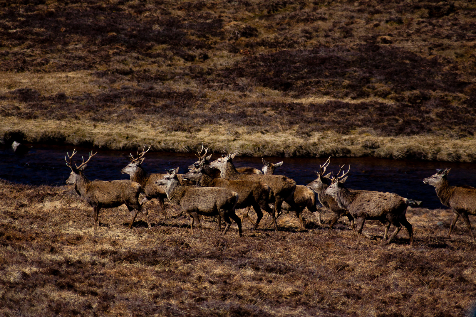 rothirschherde in den highlands