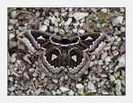 Rothschildia amoena