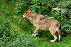 Rotkäpchen und nur der Wolf