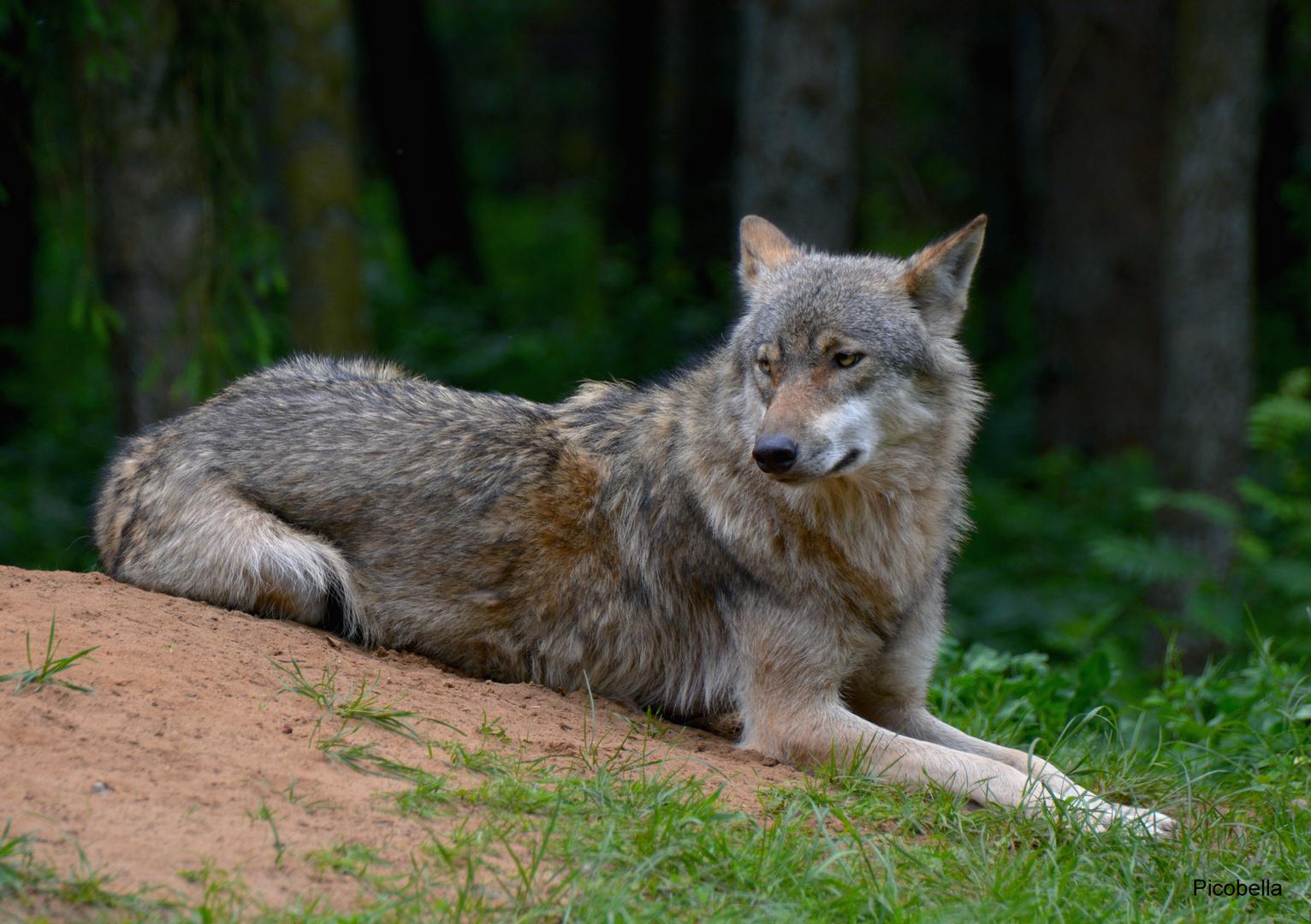 Rotkäppchen war heute beim Wolf ;-)