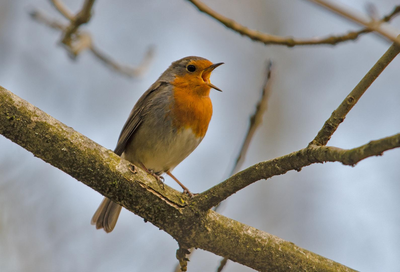 Rotkehlchen beim singen