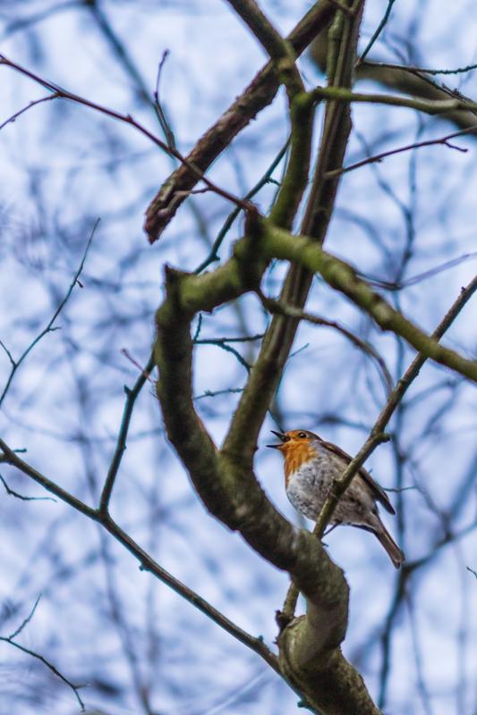 Rotkehlchen - eine Arie zum Frühling