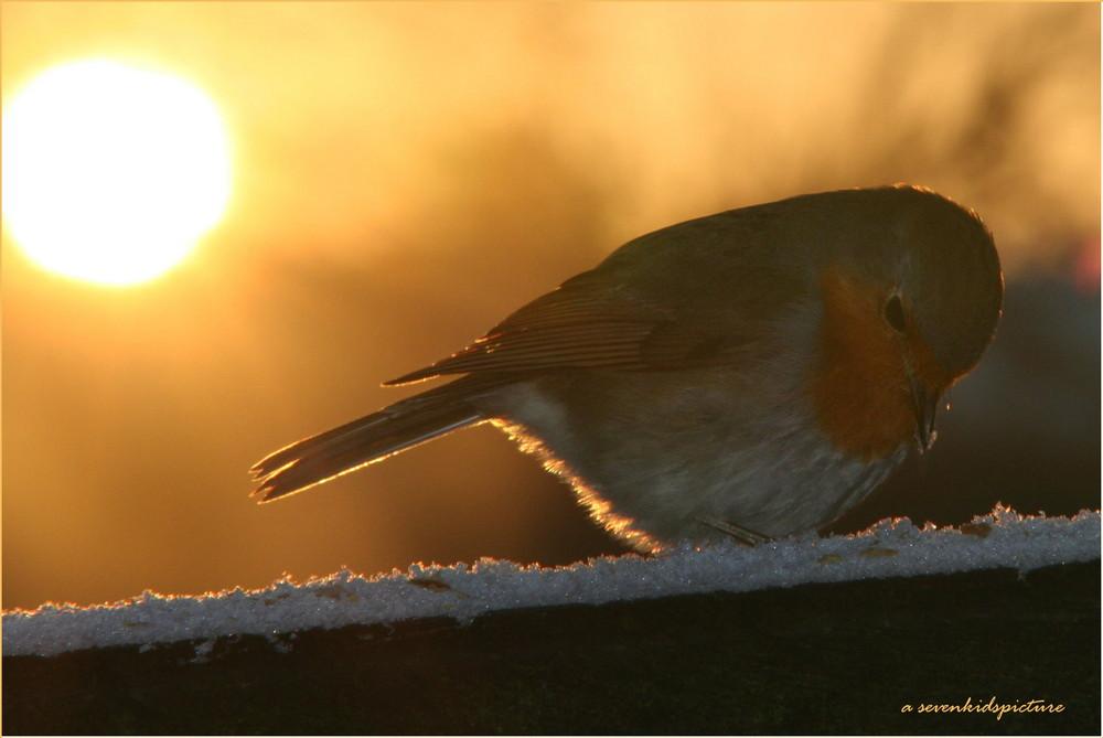 Rotkehlchen im Sonnenuntergang