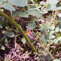 Rotkehlchen in wilden Brombeeren