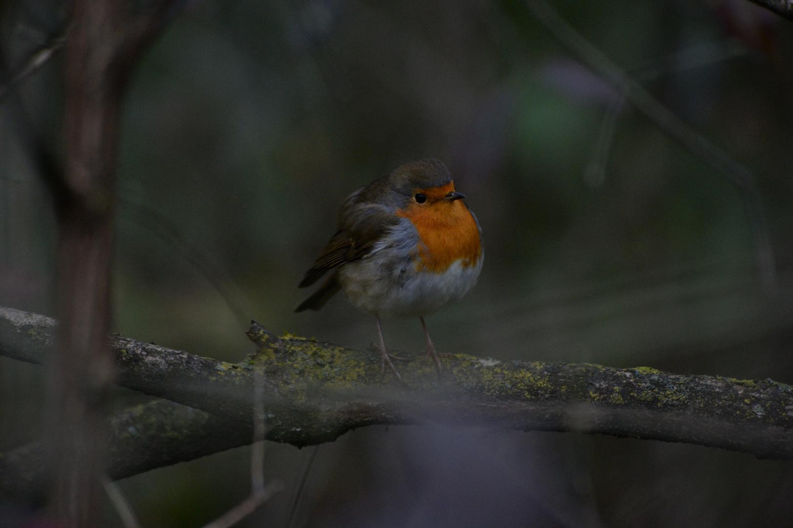Rotkelchen Jungvogel