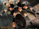 Rotknie Vogelspinne