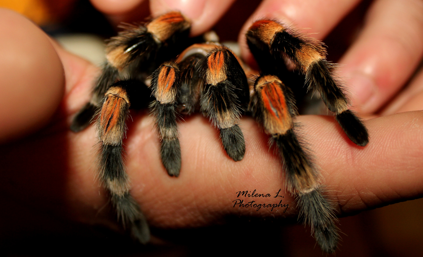 Rotknie-Vogelspinne (Brachypelma smithi)