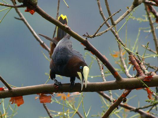 Rotkopf-Stirnvogel (Psarocolius wagleri), Guatemala 2008