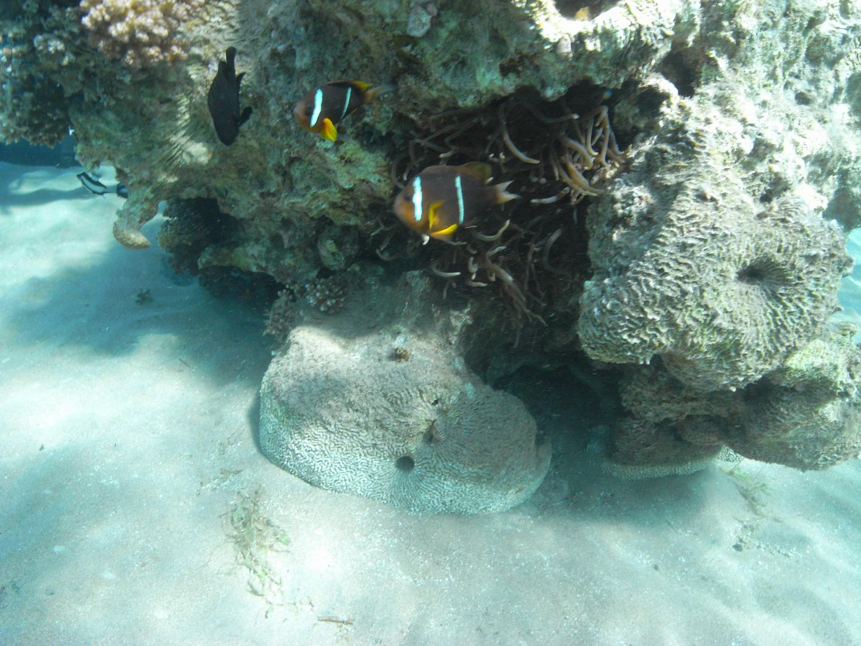Rotmeer Anemonenfische