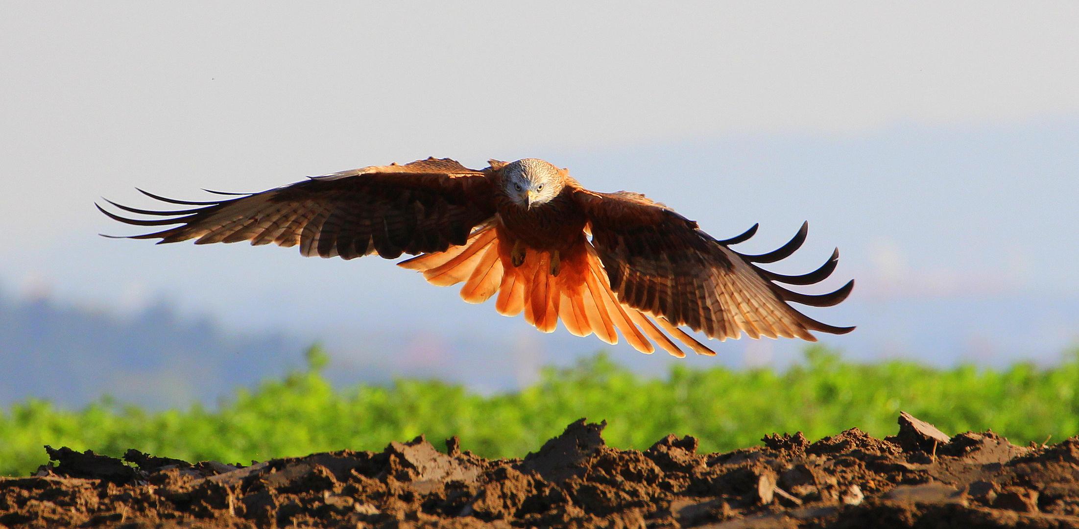 Rotmilan Landung
