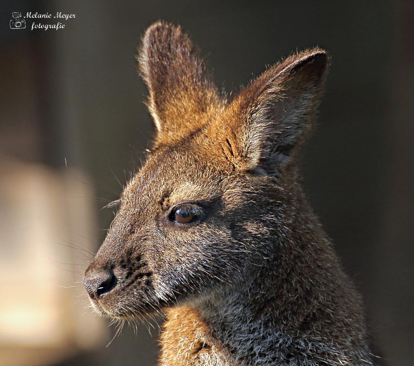 Rotnackenwallaby
