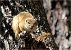 Rotschenkelhörnchen